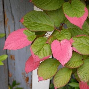 Актинидия коломикта окраска листьев