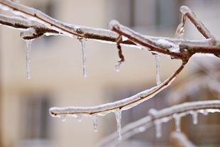 Как спасти деревья ото льда