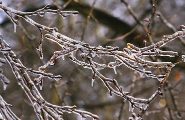 Защита плодовых деревьев зимой