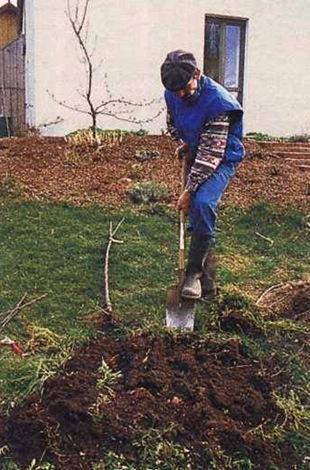 Посадка плодовых деревьев фруктовый