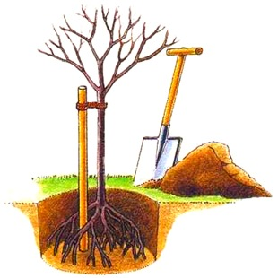 Подвязка плодового дерева при посадке
